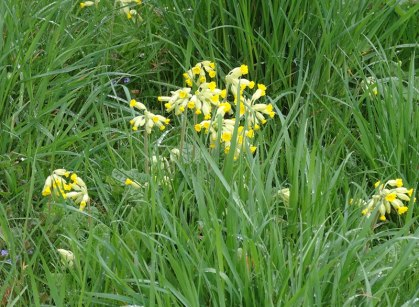 Cowslips on Bepton Down