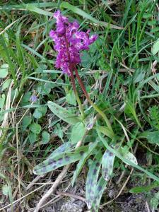 Early Purple Orchid Bepton Down