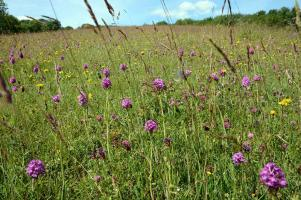 Pyramidal Orchid Sussex Bepton