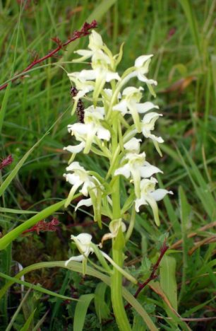 Greater Butterfly Orchid South Downs Bepton Down SSSI