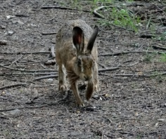 Hare on Bepton Down