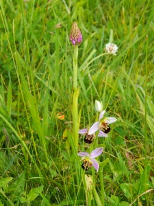 Pyramidal and Bee orchids.