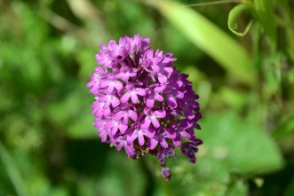 Pyramidal Orchid Sussex