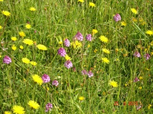 Pyramidal Orchids on Bepton Down