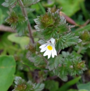 Eyebright Flower Bepton Down