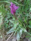 The beautiful Early Purple Orchid