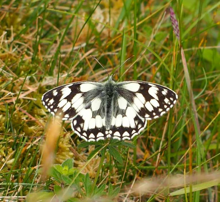 Marbled White enjoying Bepton Down flora