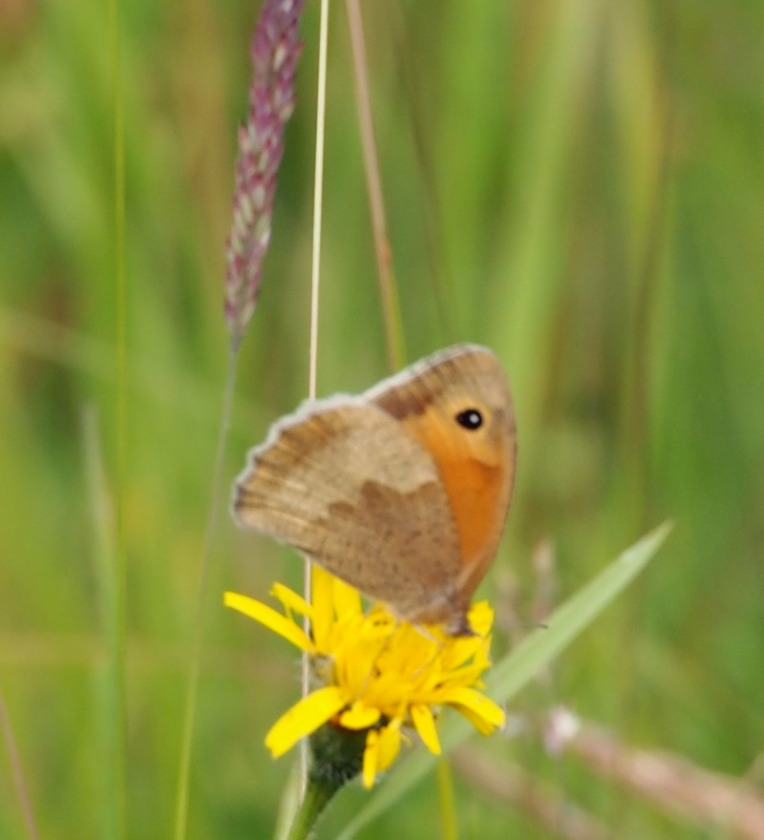 Meadow Brown Butterfly on Bepton Down