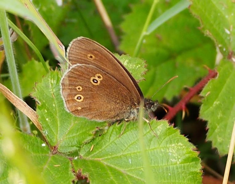 Ringlet Butterfly South Downs