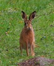 A wonderful encounter with a Brown Hare on Bepton Down.