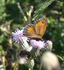 Enjoying nectar from a thistle on Bepton Down.