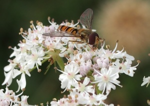 Marmalade Hoverfly on Cow Parsley.