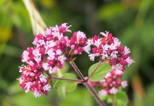 Wild Marjoram is a treat for the insects of Bepton Down.