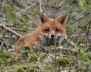 Red Fox encountered in the wood adjacent to Bepton Down