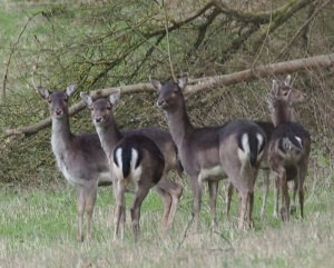 Fallow Does at the foot of Bepton Down.
