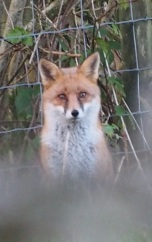 Red Fox at the top of Bepton Down SSSI.