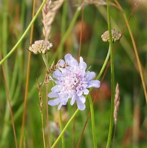 These beautiful flowers were once abundant on Bepton Down.  They are still present and are highly prized by all types of insects.