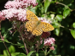 Enjoying nectar from Hemp Agrimony.