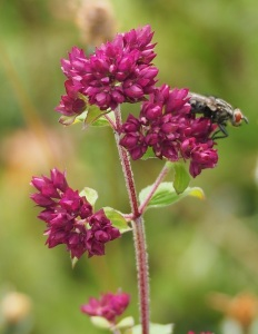 Wild Marjoram in bud on Bepton Down.
