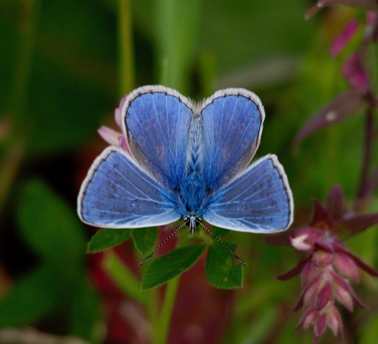 Holly Blue copy.jpg